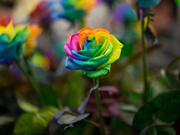 Multicoloured rose