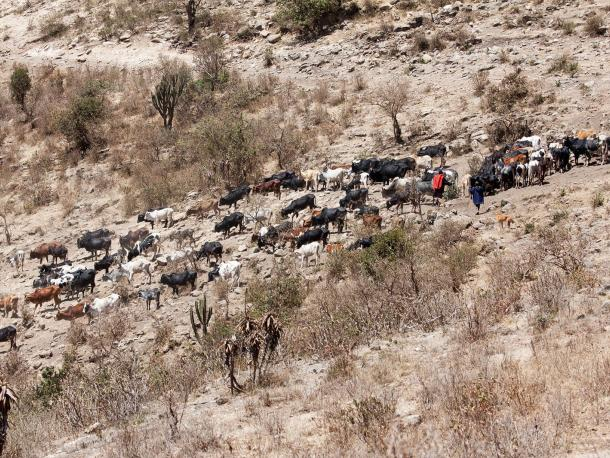 Cattle being driven to water by people