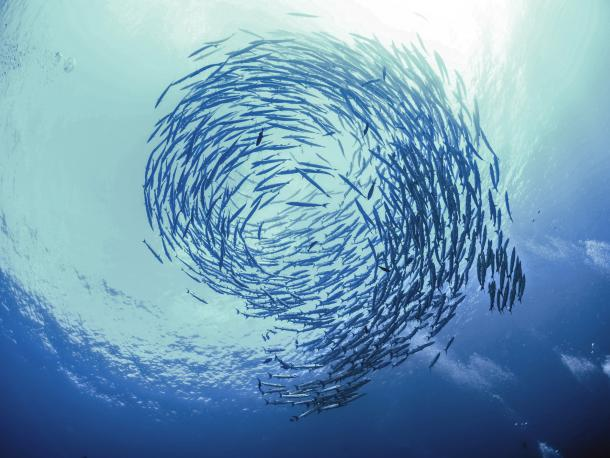 Swirl of barracuda