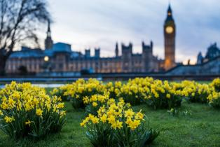 Daffodils in front of Big Ben