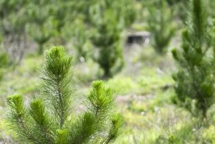 Rows of recently planted young pine trees